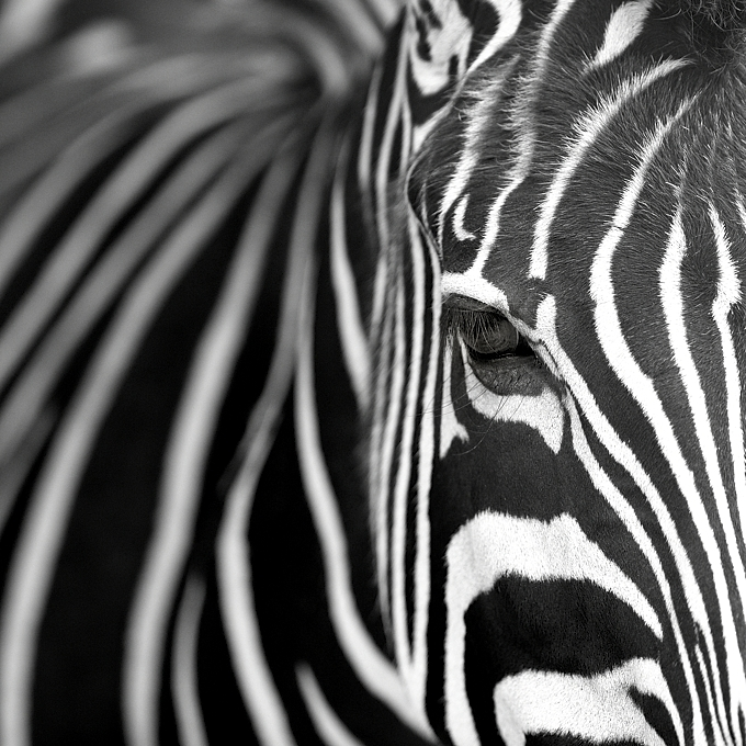 Photo zebre art graphique alu brosse